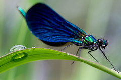 The lookout / A l'affût (Michel Couprie) Tags: blue color macro green nature grass canon insect eos focus dof dragonfly bokeh dordogne sharp 7d droplet damselfly catchy libellule damsel