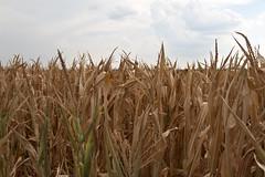 Too little too late (Shotaku) Tags: field corn cornfield dry missouri drought fields crops