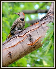 Woodpecker - Northern Flicker (mastrfshrmn) Tags: photo woodpecker photograph spotted hdr northernflicker gilden