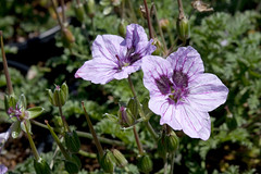 Erodium 'Marian' (Melissa-Gale) Tags: pink light flower green dark photography mediterranean purple nursery lavender melissa gale foliage bloom vein veins patch base wholesale marian perennial erodium blotch heronsbill melissagale nativesons melissagalephotography mg00970