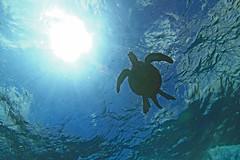 water project #53: dream in the blue (bluewavechris) Tags: ocean blue light sea sun sunlight male green water animal swim canon hawaii marine snorkel turtle reptile dive shell maui backlit creature flipper 1022 freedive seaseahousing t1i