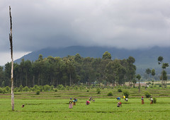 Volcanoes National Park, Rwanda (Eric Lafforgue) Tags: africa woman landscape outdoors cloudy farm working culture rwanda afrika agriculture paysage commonwealth ferme afrique eastafrica nuageux ruralscene centralafrica kinyarwanda 9721 ruanda afriquecentrale     republicofrwanda   ruandesa
