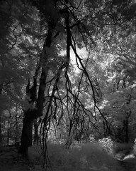 Deep Woods Infrared (mat4226) Tags: wood longexposure trees ohio blackandwhite bw tree nature stain monochrome leaves analog dark ir leaf scary woods nw photographer natural northwest deep 8x10 creepy foliage infrared maco oh pyro findlay analogphotography largeformat hangers 820 n1 tanks zonesystem oa wooded efke filmphotography blacksky eastmankodak pyrocat filmisnotdead irfilter biggerisbetter 8x10film 820c efkeir whitefoliage stainingdeveloper expandeddevelopment eastmancommercialb compensatingdeveloper dilutedeveloper obsidianaqua hangersandtanks