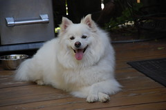dogs days of summer (Julep67) Tags: boy dog pets white ontario canada male dogs nikon sam good belleville fluffy american sammy eskimo americaneskimodog americaneskimo goodboy eskie d40 julep67 nikond40 august2012