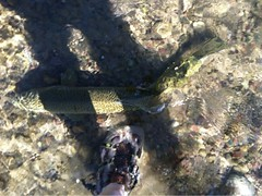 Lisa Huge rainbow 2 (OrvisNews.com) Tags: flyfishing rainbowtrout orvis lopstick