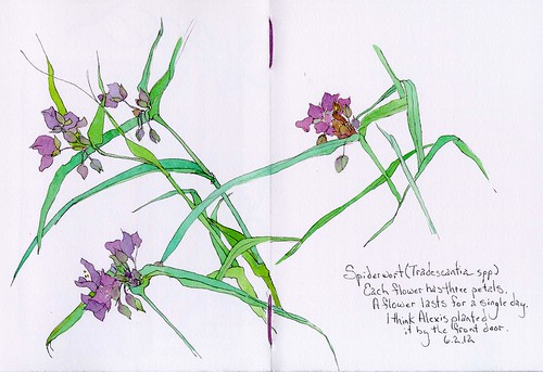 flowers plants paintings drawings spiderwort botanicals tradescantia inkandwatercolor sketchbookstudies