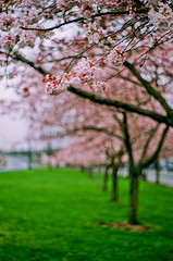 i'll take with me the memories (after october) Tags: film oregon portland spring blossoms pentaxk1000 pacificnorthwest cherryblossoms cherrytrees waterfrontpark tommccallwaterfrontpark