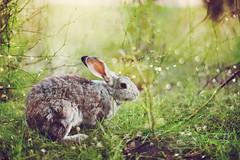 IMG_3761 (hobopeeba) Tags: light tree rabbit bunny water pool grass leaves rose garden drops jump hare bokeh canon50mm12 5dmarkiii
