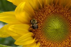 "Sunflower • <a style=""font-size:0.8em;"" href=""http://www.flickr.com/photos/54958436@N05/7779560878/"" target=""_blank"">View on Flickr</a>"