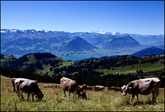 _SG_2012_08_6009_IMG_5880 (_SG_) Tags: sea panorama mountain mountains berg canon lens landscape schweiz switzerland see kuh cow is cows suisse mark top queen hills berge ii outlook usm ef 1740mm 1740 kühe ausblick splendid markii zugersee swissmountains rigi ontop hügel rigikulm panoramicview objektiv 1797 fernweh f4l ef1740 kulm centralswitzerland zuger schweizerberge 1740usm canonef1740mmf4lisusm 5dmarkii 5dii canon5dmarkii eos5dmarkii canon5dii splendidview canoneos5dii eos5dii queenofthemountains zugersea ef1740canonusm canonef17405mmf4lis usm1740ef seazug