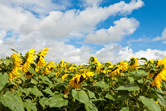 Blue sky and battered sunflowers (Helen Flynn) Tags: canon d sunflowers 50 hertfordshire select hitchinlavender cadwellfarm