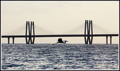 Swan and the sea (Debmalya Mukherjee) Tags: bridge sea india bird bay swan flight link arabian mumbai maharastra bandra worli mahim 18135 canon550d debmalyamukherjee