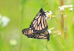 monarchs mating at Cardinal Marsh IA 854A3083 (lreis_naturalist) Tags: county cardinal butterflies reis iowa larry monarch mating marsh winneshiek