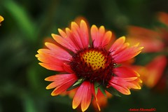 Blanket flower (Anton Shomali - Thank you for over 700K views) Tags: blanket flower blanketflower red orange daisy sun fullsun bloom summer fall summerflowers sony slta77v