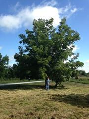 3666BlackWalnutTree (sampers56) Tags: eastern black walnut tree juglans nigra