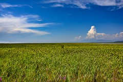 50/50  Bulrushes and sky (Images by Christie  Happy Clicks for 2016!) Tags: bulrush swamp lowground river richmond bc canada landscape clouds summer 5050
