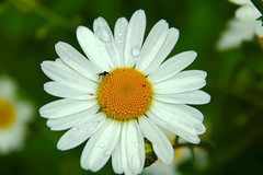 Big White Daisy (steve_whitmarsh) Tags: white flower yellow closeup daisy