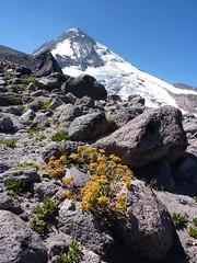 Wildflowers and Hood (mmcg6302) Tags: mount hood oregon cooper spur hiking