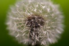 IMG_3684 (Alex Wagner Photography) Tags: sommer summer flowers blumen sun macro closeup dandelion lwenzahn pusteblume