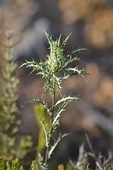 Atractylis humilis (esta_ahi) Tags: castellvdelamarca flor flora flores silvestres cardo compositae asteraceae peneds barcelona spain espaa  atractylis humilis atractylishumilis
