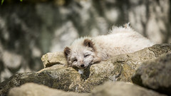 I'm tired, too.... lazy day ( - Ralf) Tags: polarfuchs eisfuchs lagopus alopex arctic fox wildtierparkde bad mergentheim tired relax lazy sun