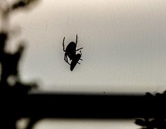 spider silhouette (PDKImages) Tags: spider spiders webs macro beauty silhouettes legs creepy danger feeding striped pounce nature