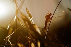Let me take a last sunbath - Laisse moi prendre un dernier bain de soleil (Sbastien Vermande) Tags: canon7d france midipyrnes lot bokeh macro t summer macrophotography nature wild insect insectmacro macrolens macrophotographie libellule dragonfly dragonflies sigma150macroexdg sigmaapoteleconverter14xexdg vermande