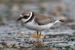 Ringed Plover (Simon Stobart (back but busy)) Tags: beach rocks stones sand water northeastengland ringed plover
