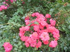056 (en-ri) Tags: roselline aiuola sony sonysti foglie leaves