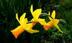 TETE-A-TETE Daffodils (elliott.lani) Tags: flowers bulb bulbs narcissus daffodil daffodils teteatete yellow golden colour color colourful bright vibrant beautiful garden homegarden flora floral nature naturephotography waterdroplets