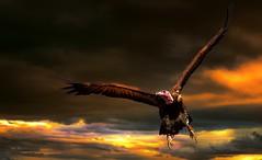 Vulture in flight (Delbrcker) Tags: vulture geier bird vogel nature natur outdoor nikond610 70200mm 28 animal tier