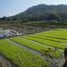 135. Laos. Campagne aux environs de Luang Prabang. Plants de riz (pépinière)