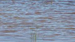 Swimming Chipmunk (U.S. Fish and Wildlife Service - Midwest Region) Tags: chipmunk chipmunks nature wildlife michigan mi seney whitefishpoint lake pond lakesuperior nwr refuge nationalwildliferefuge summer 2016 video videos