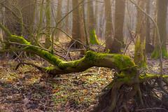 forest (pasiak75) Tags: 2016 dolinabaryczy forest las zima