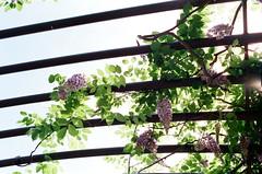 vinelight (september.) Tags: 35mm film canonae1 canonfd35mmf2ssc fujifilmsuperia400 washingtondc southwest sw unitedstatesbotanicalgardens wisteria bloom vine