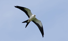 Swallow-tailed Kite Catching a Bug! (9 of 9) (Steve Gifford - IN) Tags: swallow tail tailed swallowtail swallowtailed kite germantown oh ohio steve steven gifford eating catching bug insect flight picture photo photograph nature wildlife bird raptor oxford