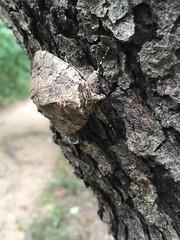 Moth (AsiVivo) Tags: bug dc rooseveltisland polilla insecto insect nature naturaleza
