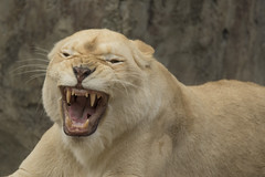 Witte Leeuwin (Jan de Neijs Photography) Tags: leeuwin witteleeuwin ouwehands ouwehandsdierenpark dierentuin rhenen tamron tamron150600 lioness