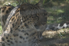 048_Great Cats Park_Leopard (steveAK) Tags: greatcatsworldpark leopard