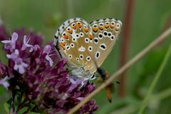 Himmelblauer Bluling (planetvielfalt) Tags: lepidoptera lycaenidae lycaeninae polyommatini sachsenanhalt deutschland