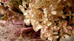 dry flower (stellagray345) Tags: flower dryflower hydrangea beautiful pink nature natural japan   colors