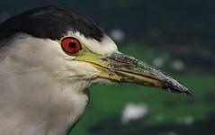 IMGP8494 (CatseyeGomez) Tags: reno nevada virginia lake bird heron blackcrowned night