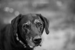 Old bear (Blockshadows) Tags: i 50mmf12 12 50mm12 canon senior dogportrait pupper pup dog portrait bw bnw blackandwhite white black
