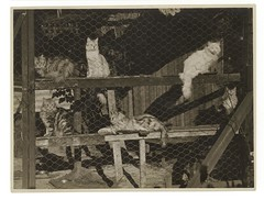 Cattery, ca. 1925-ca. 1945, Sam Hood (State Library of New South Wales collection) Tags: statelibraryofnewsouthwales