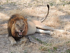 DSCN4134a (David Bygott) Tags: africa tanzania ruaha lion male snarl grimace