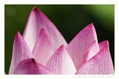 Flower Crown (mr ivanchan) Tags: lotus summer sunshine sunlight daylight outdoor nopeople nature flower minoltaaf75300mmf4556 minolta sony a7rii ngc bokeh macro closeup 50faves 2000views