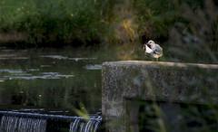Morning lights2 (flegmaya) Tags: morning morninglights bird nikon nikonphotography nature netherlands almere