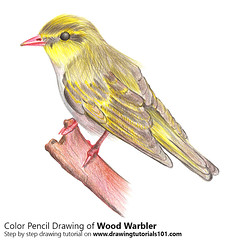 How to Draw a Wood Warbler with Color Pencils [Time Lapse] Step by Step Tutorial on http://bit.ly/2cmywlw Total Time: 3 hours Pencils: HB, 2B, 4B, Color Pencils (drawingtutorials101.com) Tags: wood warbler birds color drawing pencil pencils coloring bird how draw warblers sketch sketching speed timelapse