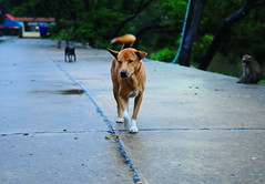 ,, Rocky ,, (Jon in Thailand) Tags: blue red yellow jungle rocky running littlestubby monkey monkeys primates k9 dog dogs night trees road teal tail ears nose happy nikon nikkor d300 175528 whitesoxs gooddog swamp green 125thsecond handheld happydog brokenribs street streetphotographyjunglestyle junglejournalism junglejournalismmystyle nature naturephotographymystyle naturephotography wildlife littledoglaughedstories