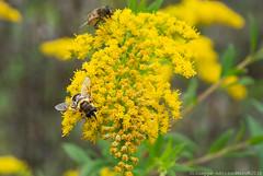 Fast food (Cjasar) Tags: inflorescence invertebrates infiorescenza fiori pianta botanica ecologia ecology feeding flies mosche diptera entomofilia syrphidae